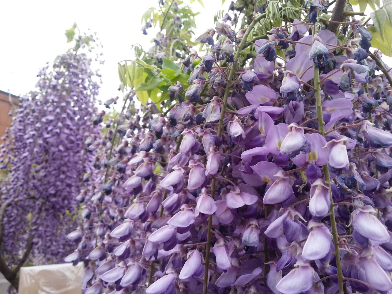 Wisteria have long been a popular flower in the Aramachi Region