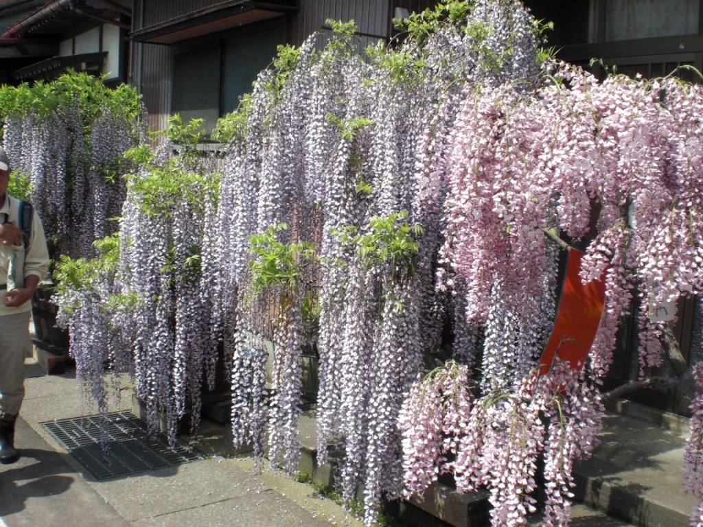 Pink, purple, and white wisteria adorn the storefronts and homes of Aramachi