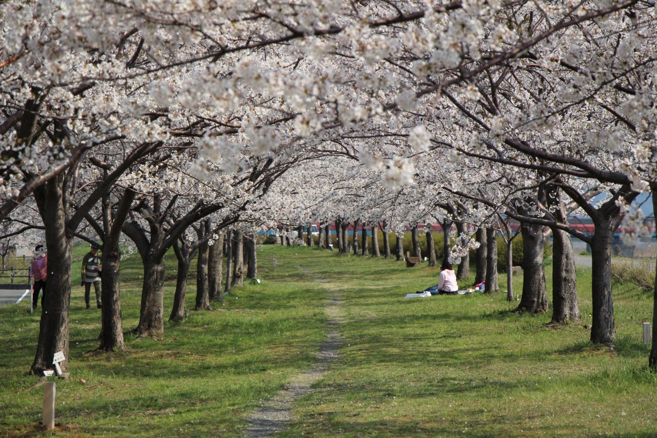 Picnicking is popular in the tunnel of cherry blossoms